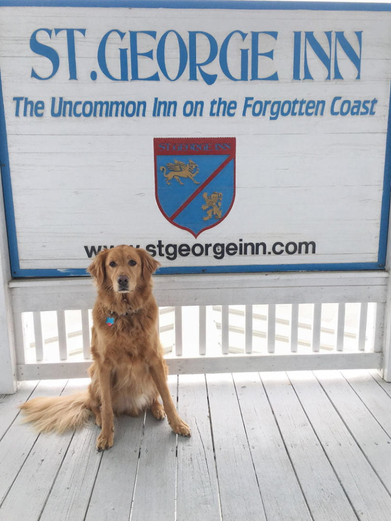 cute golden retriever enjoying the st george inn